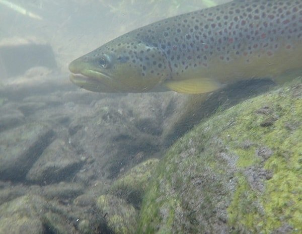 Brown trout feed near the bottom.