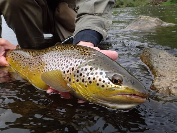 Bottom Bouncing For Brown Trout