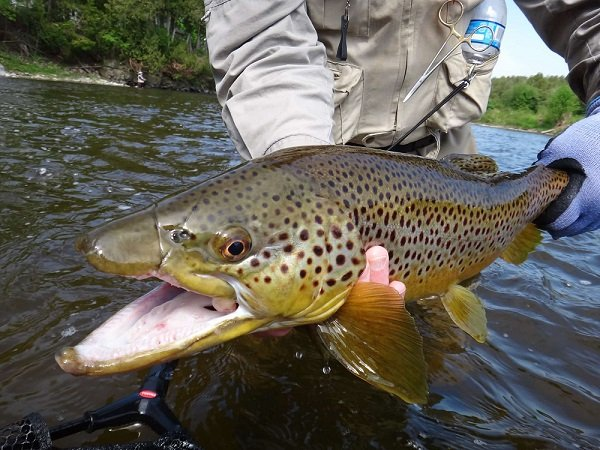 Big Trout Eat Small Flies