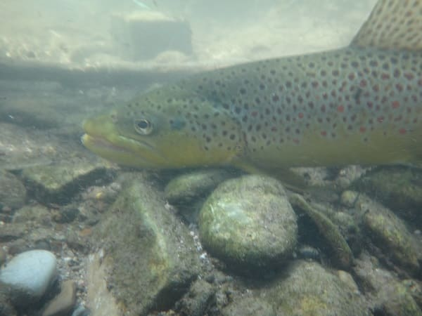 Big Trout On Bottom