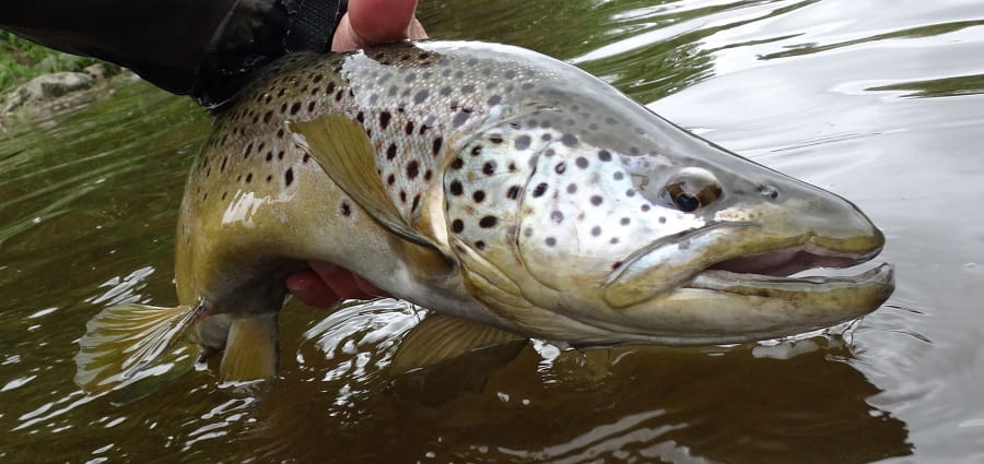 hook size for big trout