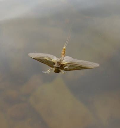 Dry flies Float high with a floatant