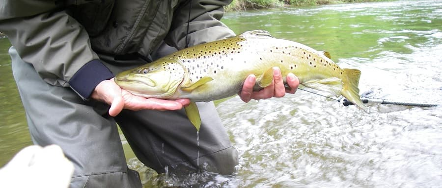 Big trout fishing after rain