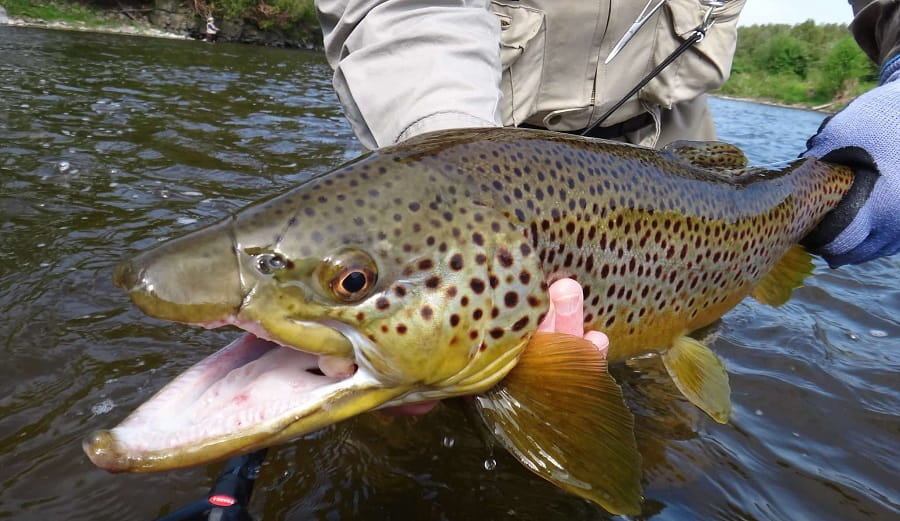 A big brown trout caught in light rain