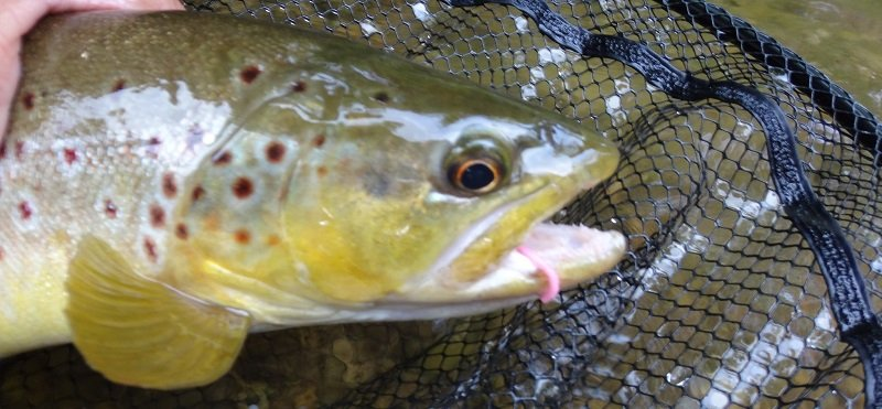 A trout with a worm fly in it's mouth