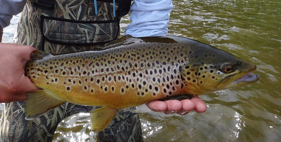 Trout like this can be caught using a Centerpin