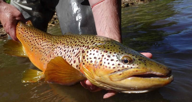 You need a good Centerpin line for trout