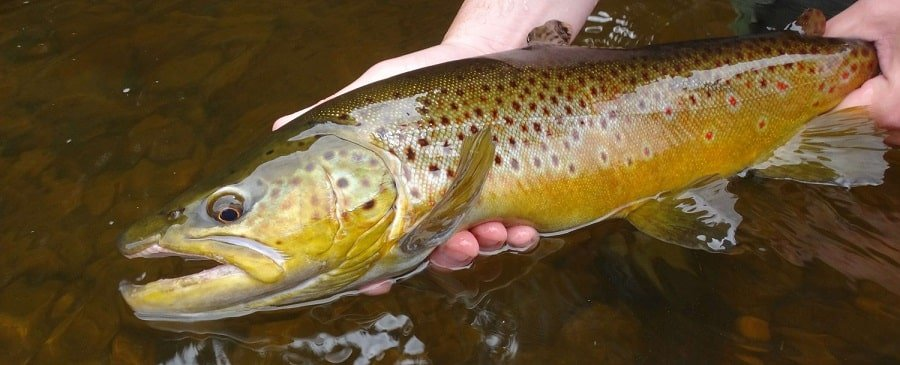 Use the best fishing line for trout to catch big brown trout like this.